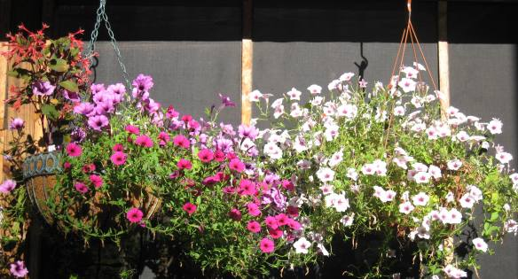 Fuschias and Petunias in hanging baskets along the porch