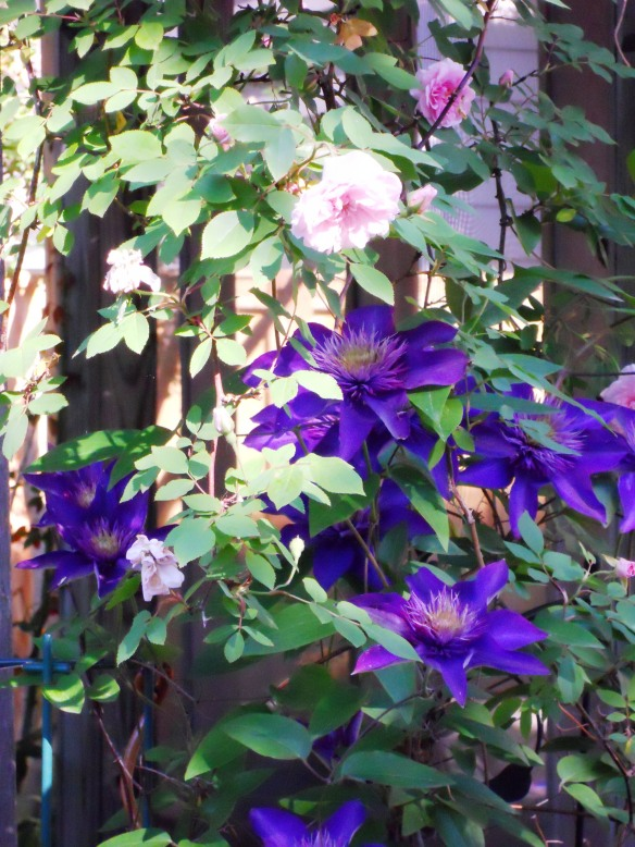 Clematis and Cecile Brunner roses in my garden, 2011