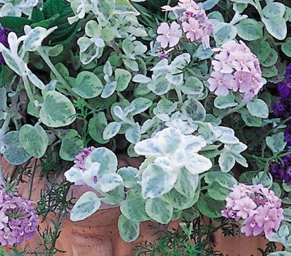 Helichrysum and Verbena (WFF photo, 2012)