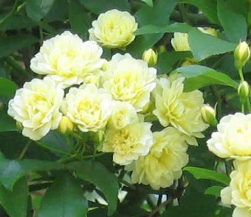 Banksia rose 001-insert