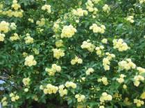 Banksia rose 001