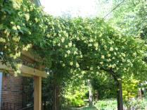 Banksia rose 005