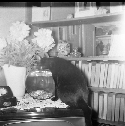 My cat Sootie, drinking from the fish bowl. Photo I took at age 15.