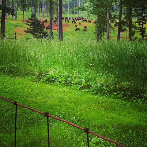 View from Joy's front porch of bison in the north field.