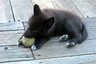 Baby wolf-dog