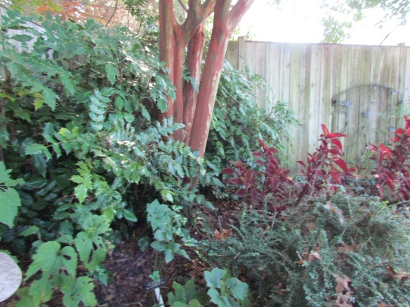 Crepe Myrtle trunks showing pretty bark framed by Mahonia Shrubs