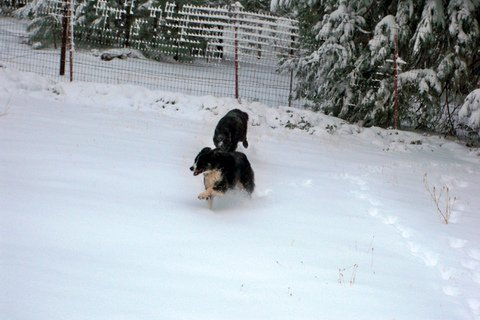 Debbi's wolf and dog play in the snow near Yosemite