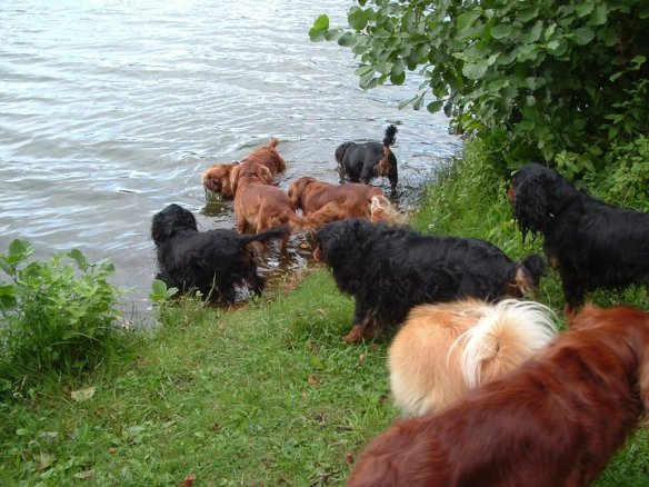 My cousin's dogs…(King Charles Spaniels at the North Sea).