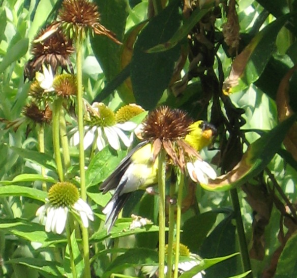 Goldfinch 9Aug2008 012-A