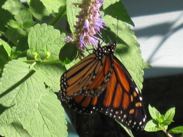 Monarch butterfly on Korean mint.