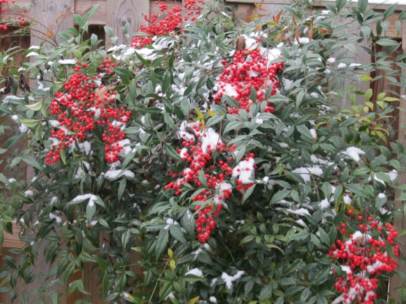 Nandina in snow - 2013
