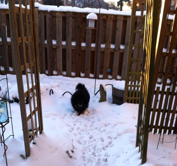 Johnny loves the snow. That's his ancestral genes at work as Poms were bred from sled dogs.
