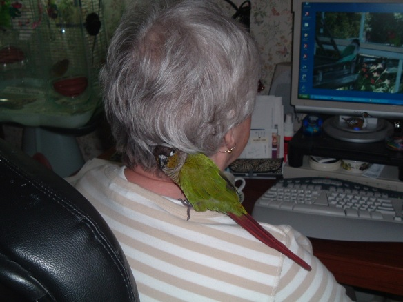 My Greencheek Conure, Sweetpea finds a place to cuddle