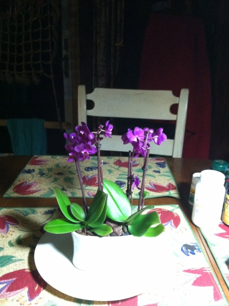 Mini Moth Orchid