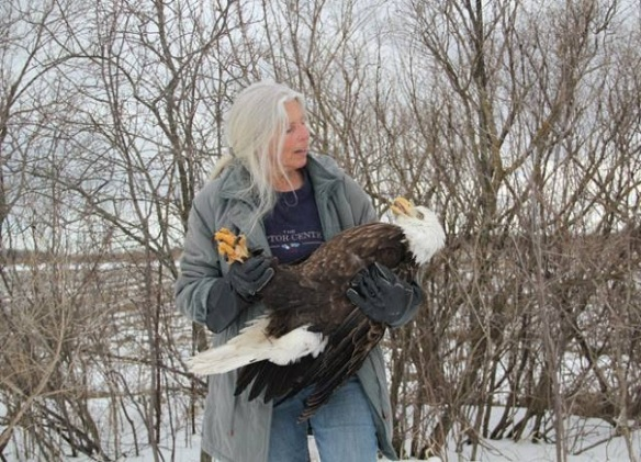 Saving an injured American Bald Eagle