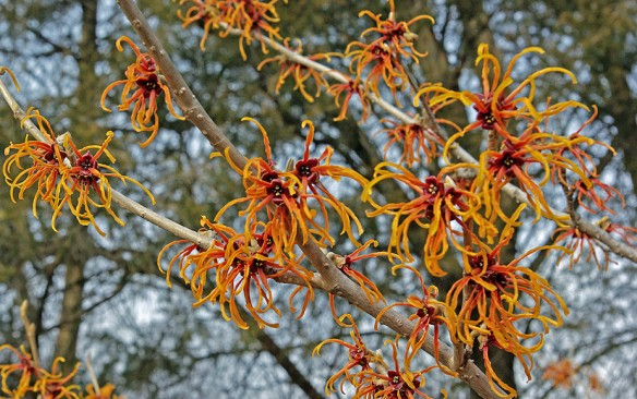 Witch  Hazel, Greenspring Grdens