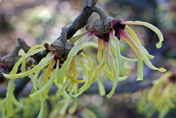Witch Hazel, Greenspring Gardens