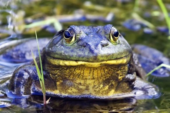 North American Bullfrog (wikipedia)