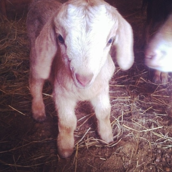 New baby goat at my daughter's farm.