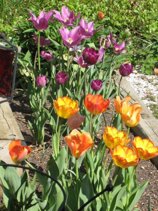Tulips from several years ago