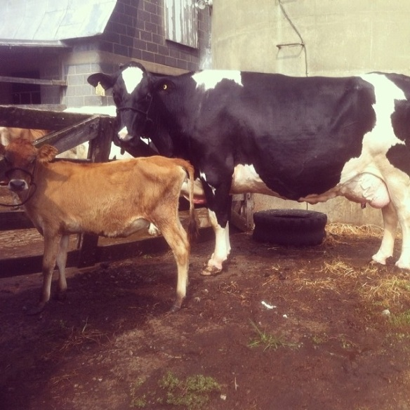 Jersey (little red cow) and German Holstein at the dairy farm.