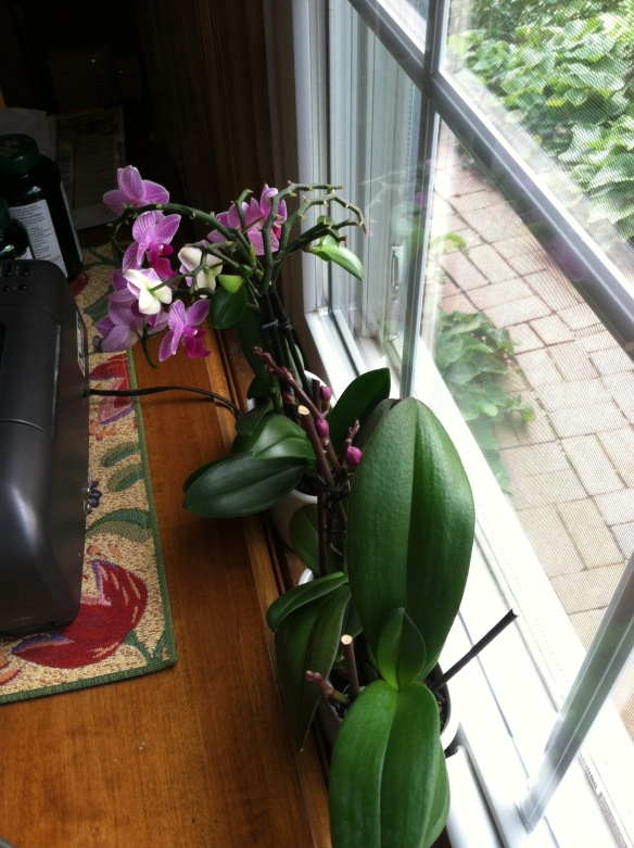 Miniature Moth Orchids, reblooming