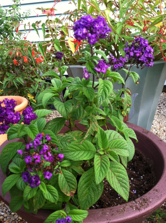 Heliotrope in my garden