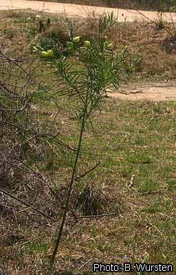 Gomphocarpus fruticosus fruiting plant Wursten