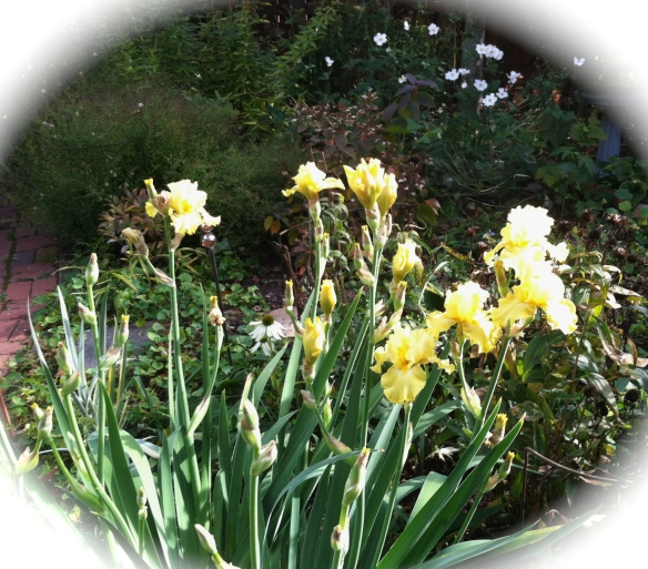 The last burst of Irises this year.