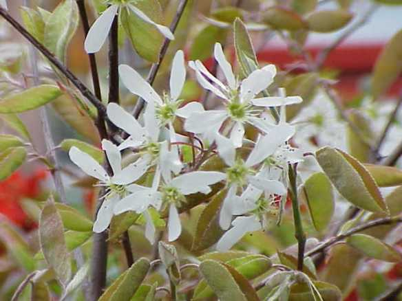 Amelanchier grandiflora in bloom