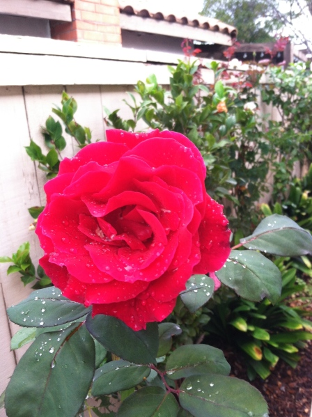 Another rose in my son's garden in San Diego.