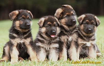 baby-german-shepherd-3