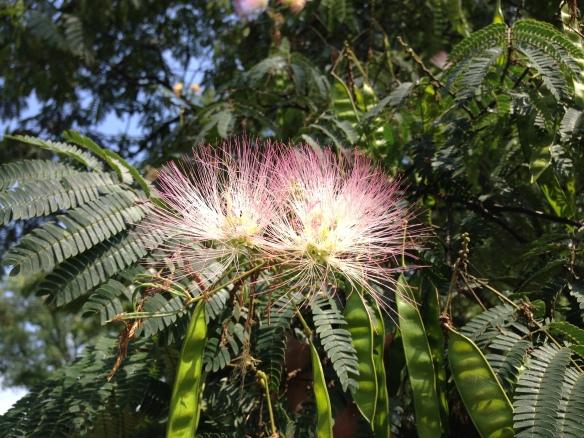 Mimosa (Albizia julibrissin