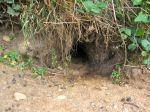 1024px-Rabbit_burrow_entrance