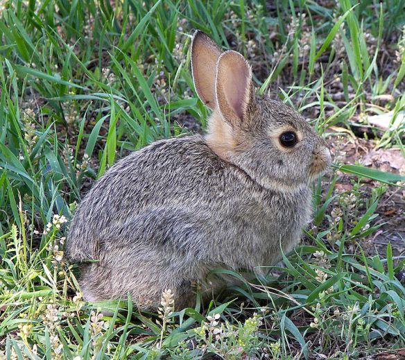 800px-Rabbit_in_montana