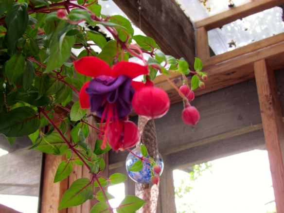 Hanging basket of Fuchsia from 2014.