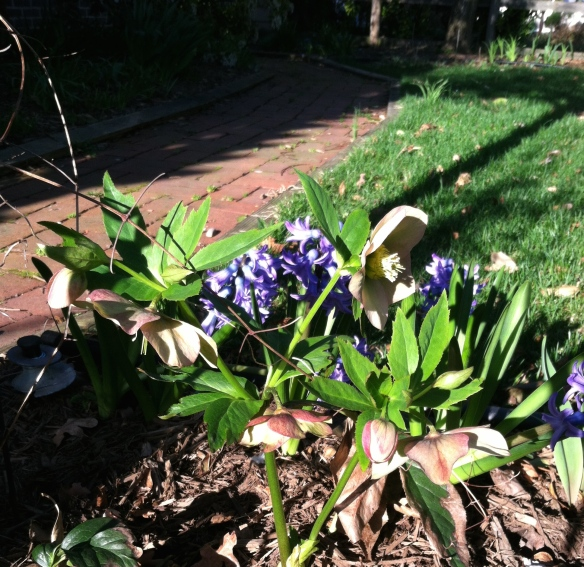 New Hellebore, old Hyacinths emerge from the mulch.