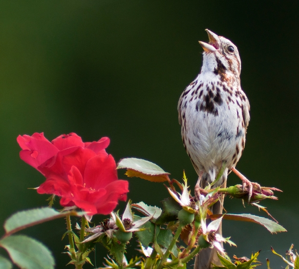 Melospiza melodia or song sparrow. Photo from Wikipedia
