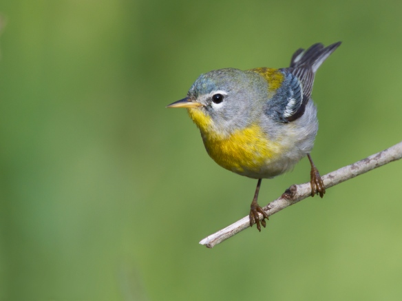 Northern_Parula_by_Dan_Pancamo