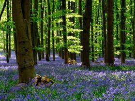 Coton Manor Bluebell Wood Northamptonshire Northants